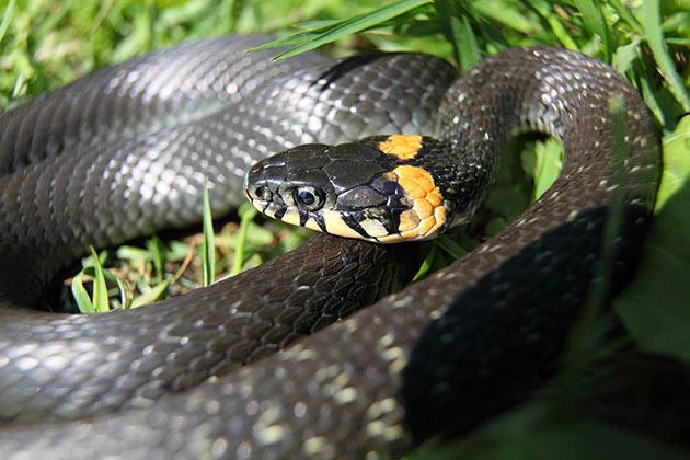 Харьковчане жалуются на нашествие змей. В чем проблема?